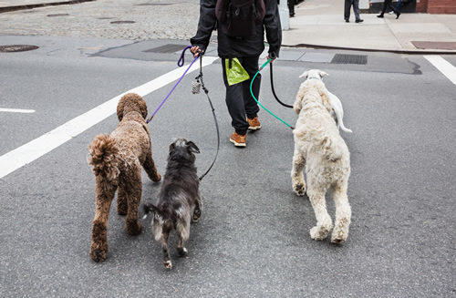 dog walking Chicago, dog walking companies