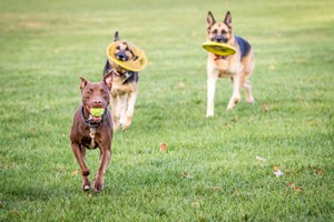 Chicago suburb dog walkers, canine care
